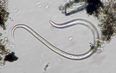Roundworms  Pets amp Parasites The Pet Owners Parasite